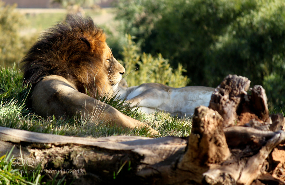Photograph Watchful Lion by Helia A. on 500px