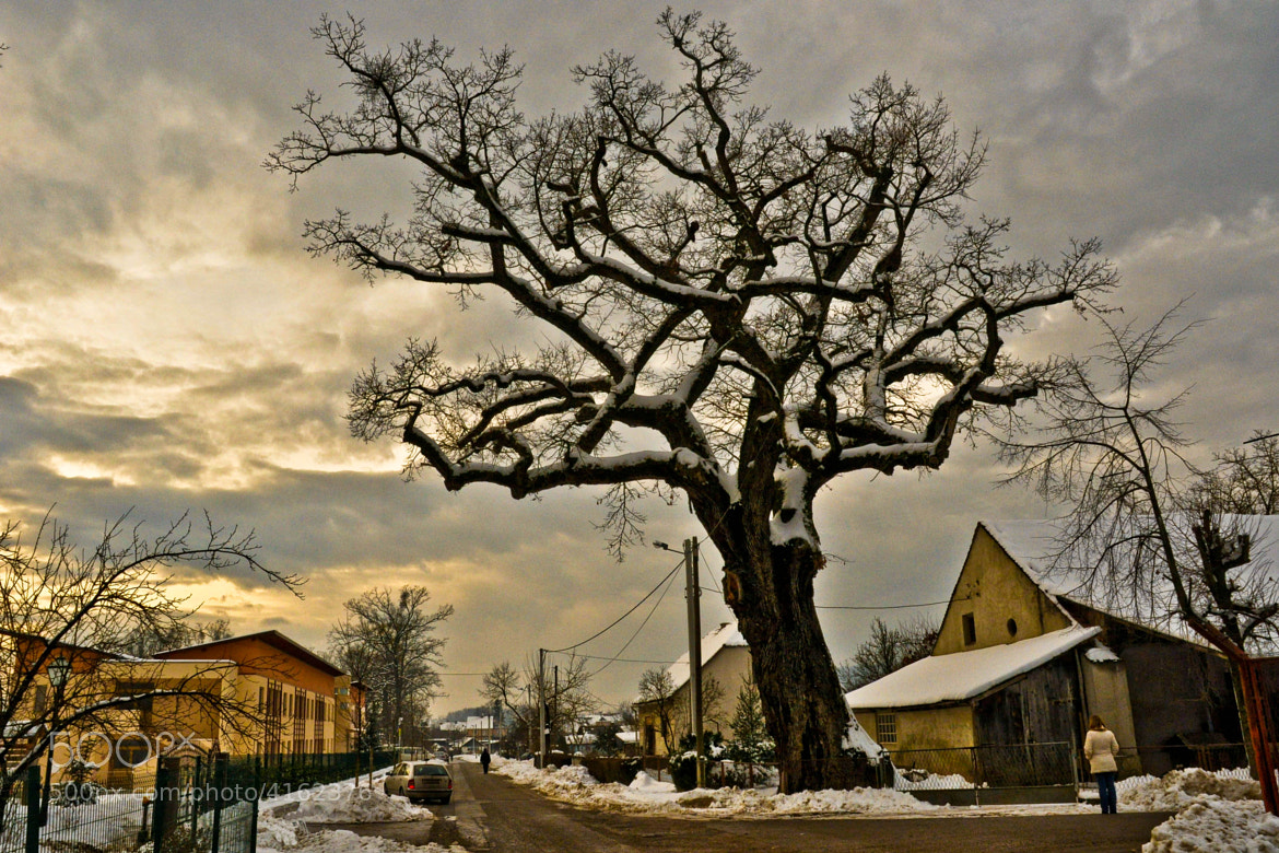 Photograph old oak (01) by Vlado Ferencic on 500px