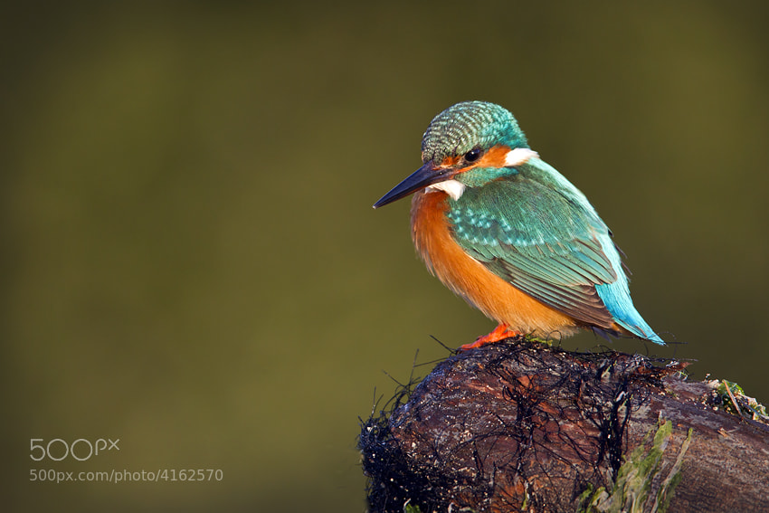 Photograph common kingfisher by mohd Khorshid on 500px