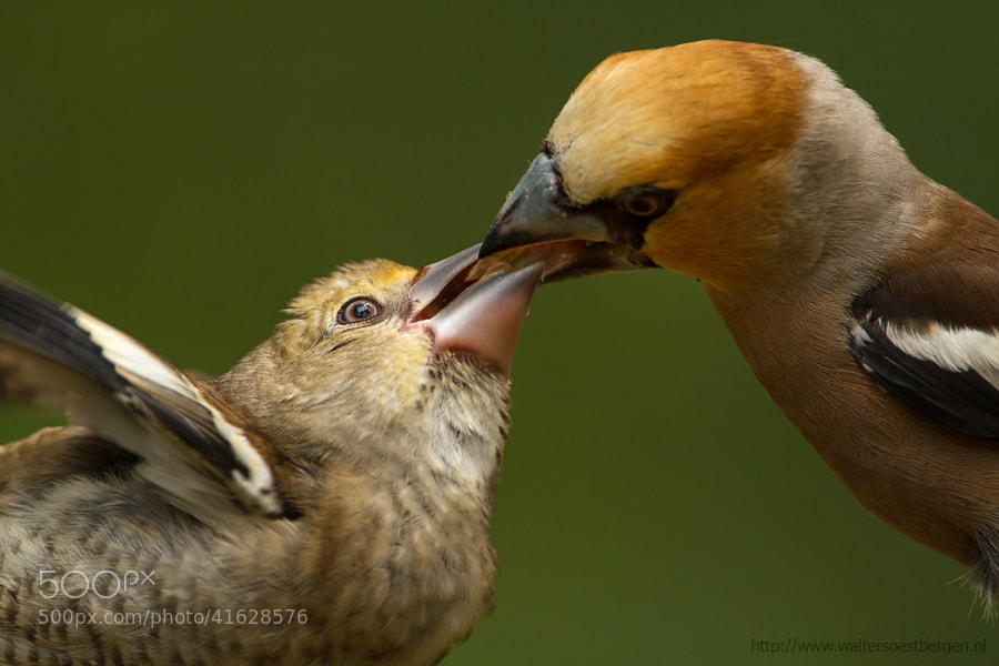 Photograph Hawfinch feeding by Walter Soestbergen on 500px