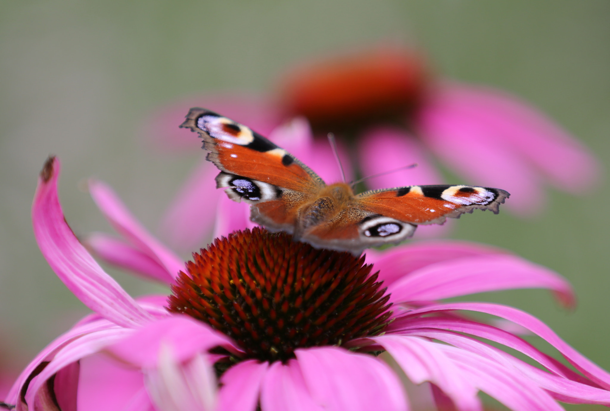 Photograph Echinacea & European Peacock by Eva Lechner on 500px