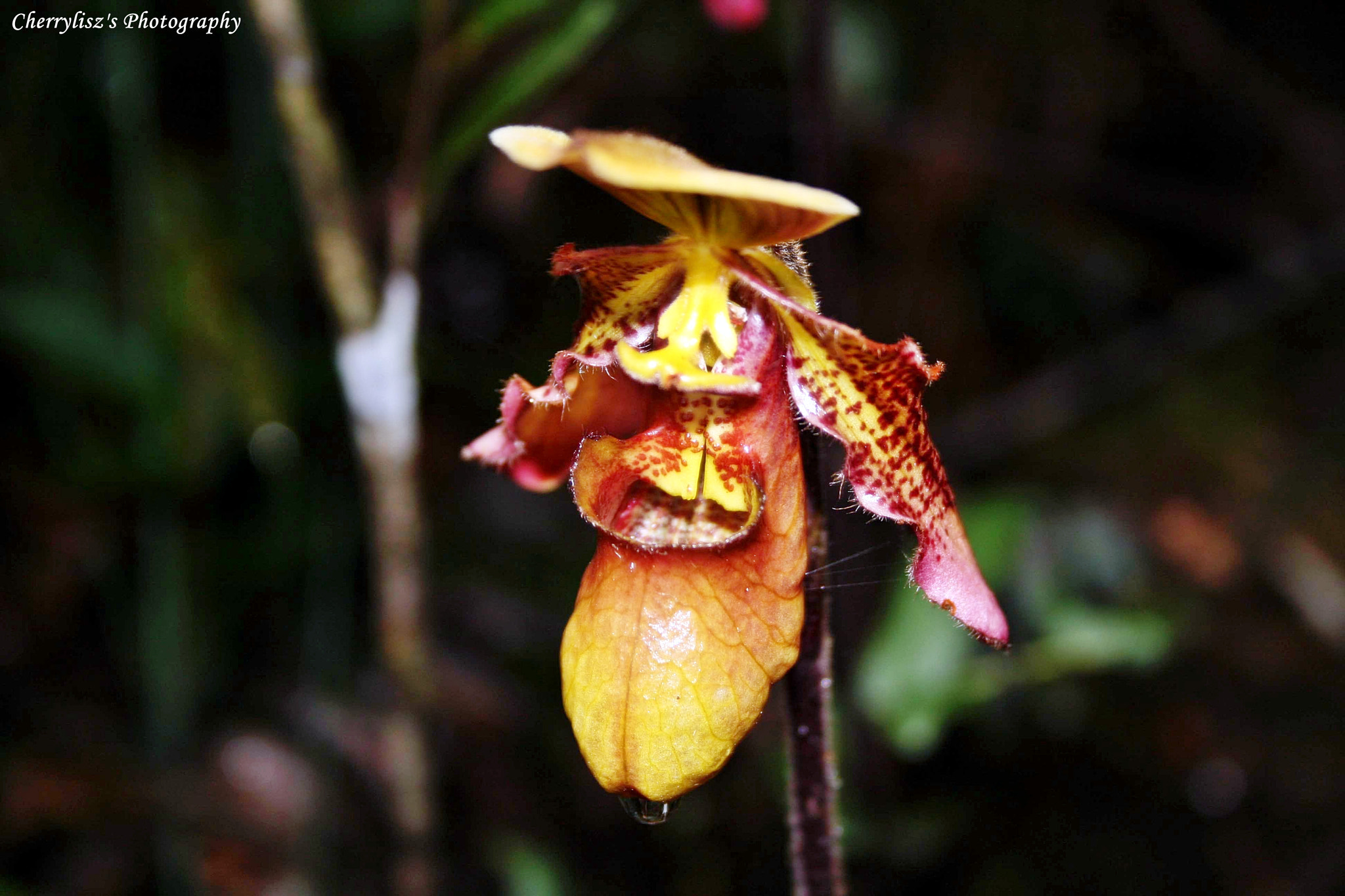 Photograph Kinabalu's Orchid by Cherry Murasaki on 500px