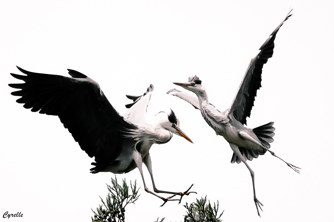 Photograph Winged Ballet ~ Egret by Cyrelle K on 500px