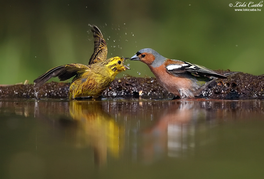 Photograph Finch fight by Csaba Lóki on 500px