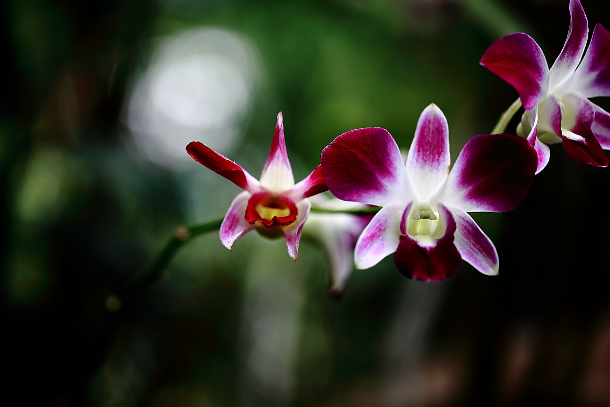 Photograph Orchids by Sugianto Suparman on 500px