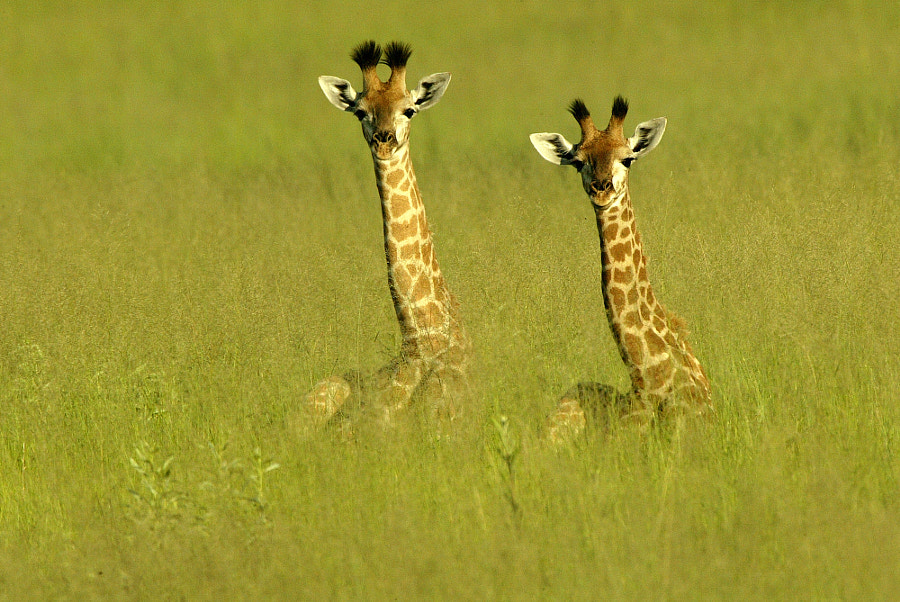 Baby Giraffes by Michael Poliza on 500px.com