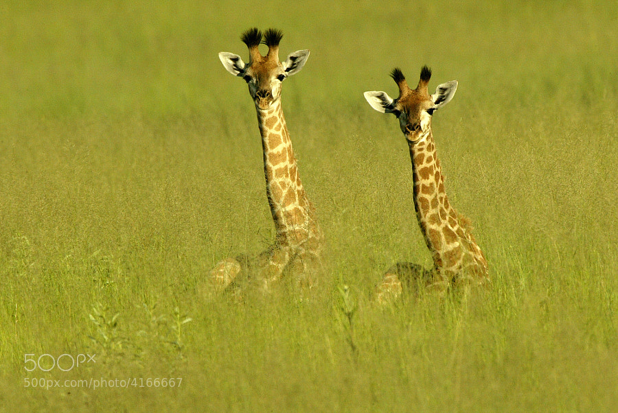 Photograph Baby Giraffes by Michael Poliza on 500px