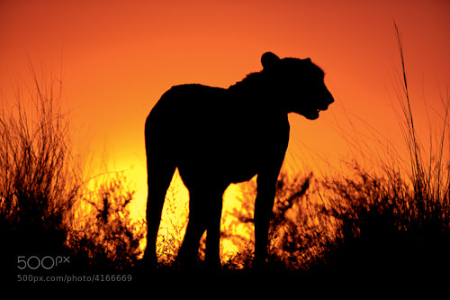 Photograph Cheetah at Sunset by Michael Poliza on 500px
