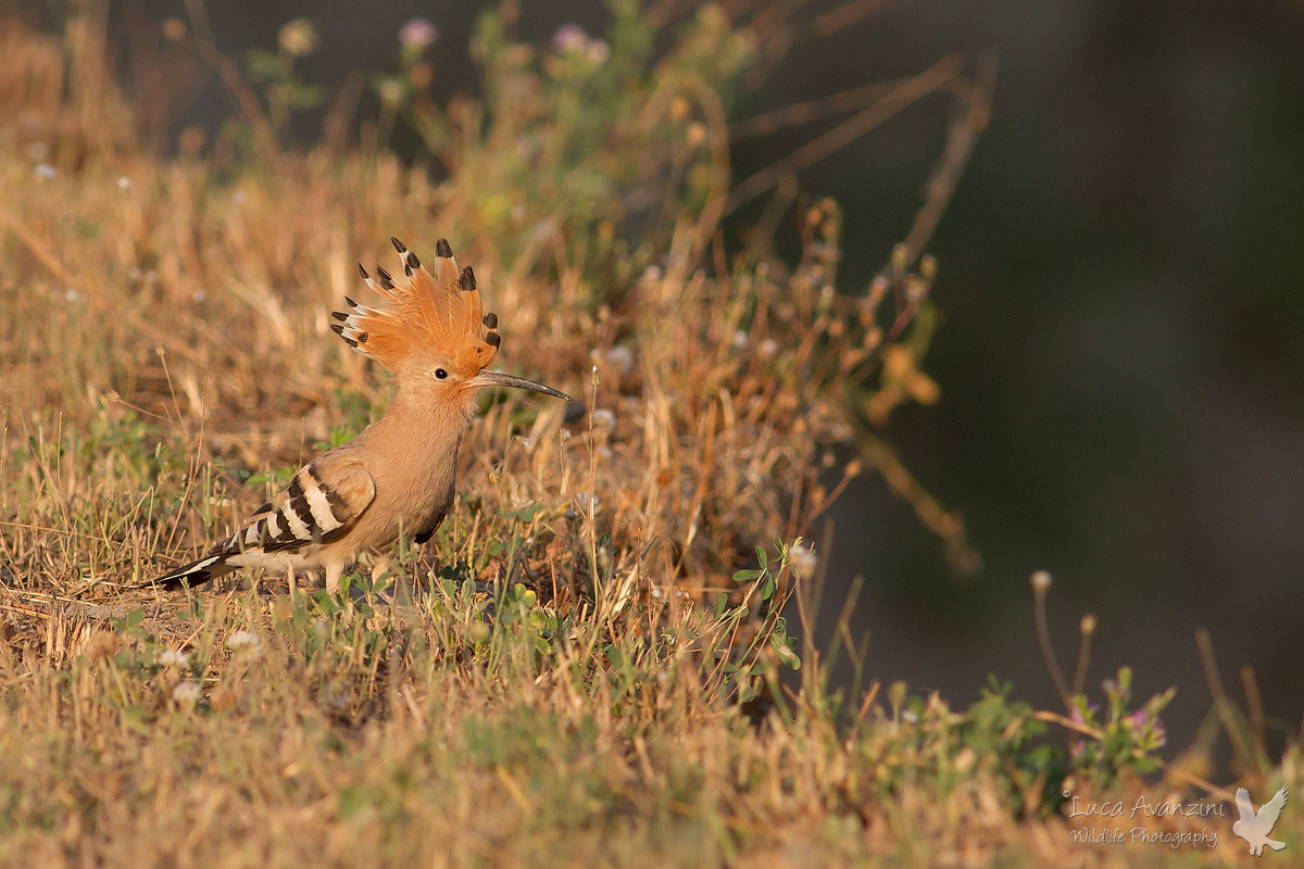 Photograph hoopoe by Luca Avanzini on 500px
