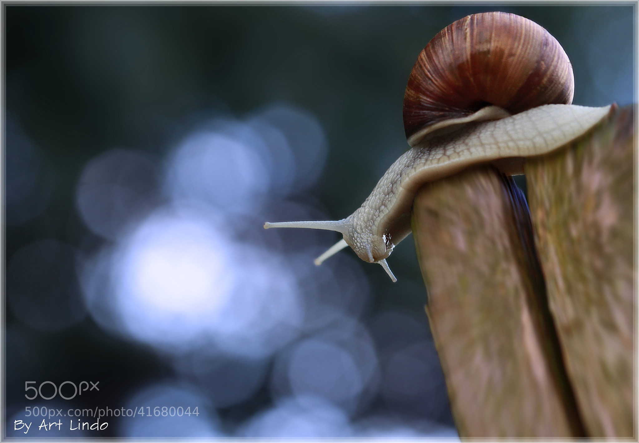 Photograph Escargot de Bourgogne by Art Lindo on 500px