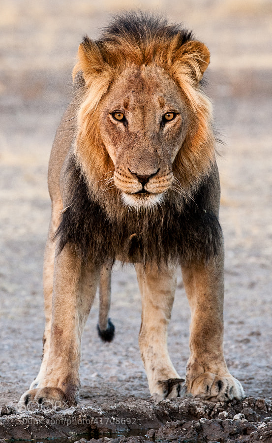 just another Lion at Sunday Pan waterhole...