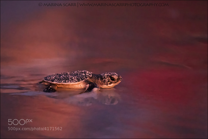 Photograph Sunset Green Sea Turtle by Marina Scarr on 500px
