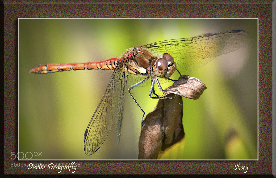 Photograph Darter Dragonfly by Mark Shoesmith on 500px