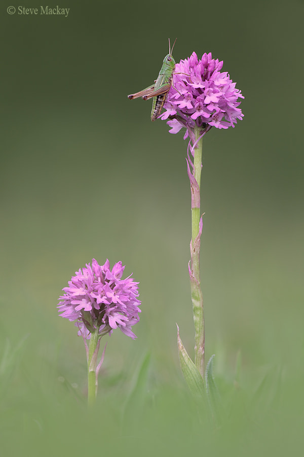 Photograph Pink and Green by Steve Mackay on 500px