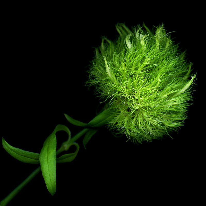 Photograph GREEN POMPOM... A FLOWER IMPORTED... by Magda Indigo on 500px