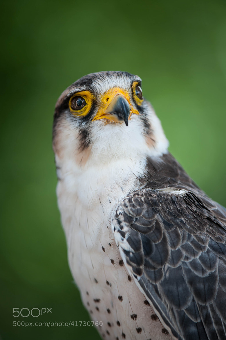Photograph Falcon by Justin Lo on 500px