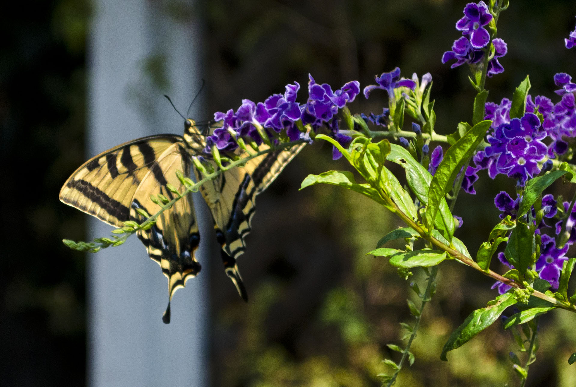 Photograph Butterfly and Purple Flower by Michael Sheltzer on 500px