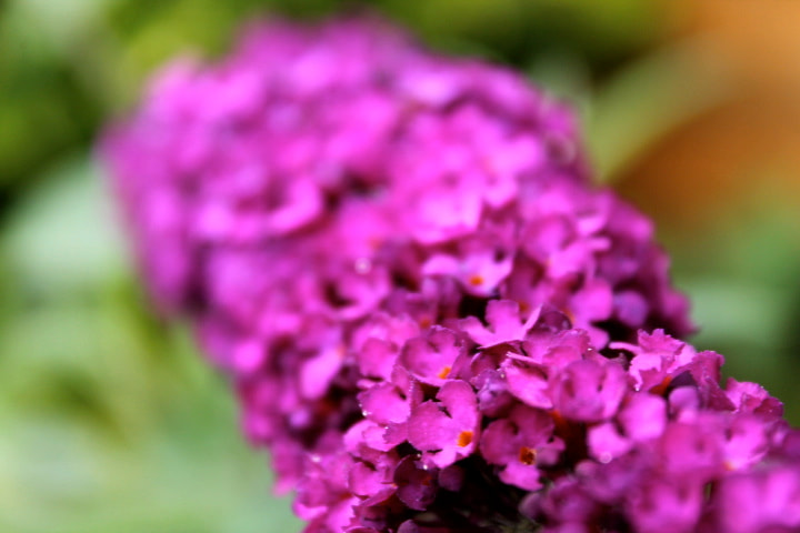 Photograph Buddleja by Charlie Ball Photography on 500px
