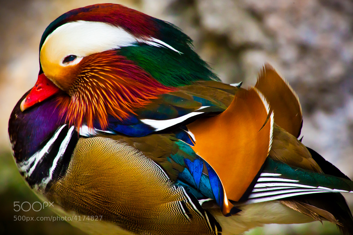 Photograph Mandarin Duck by Noah Frank on 500px