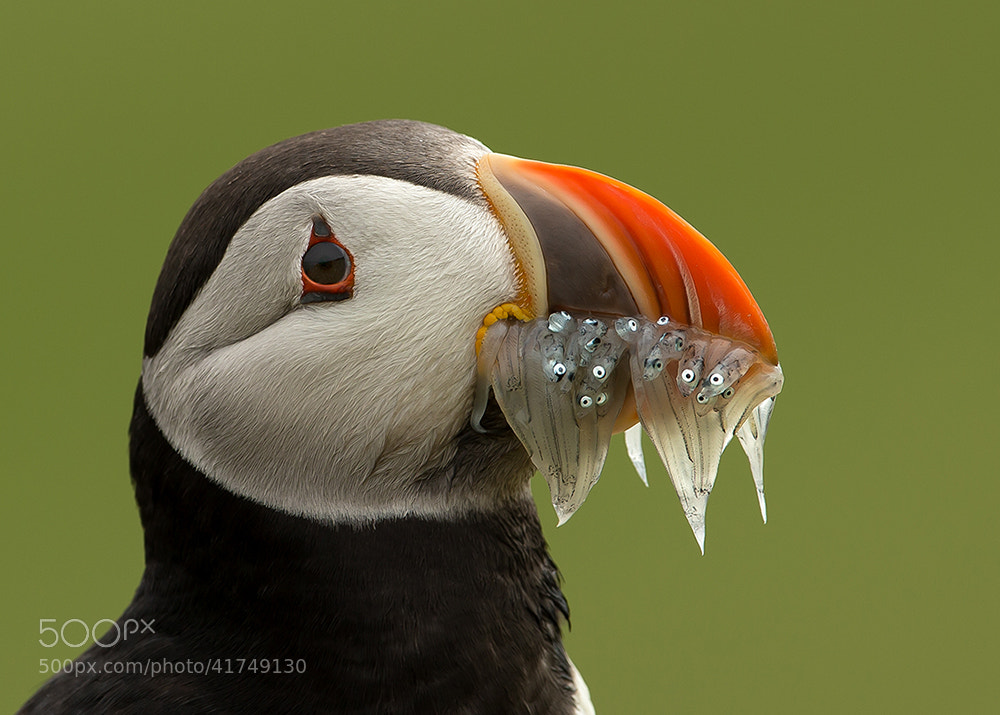 Photograph Puffin with Sand eels by Giedrius Stakauskas on 500px