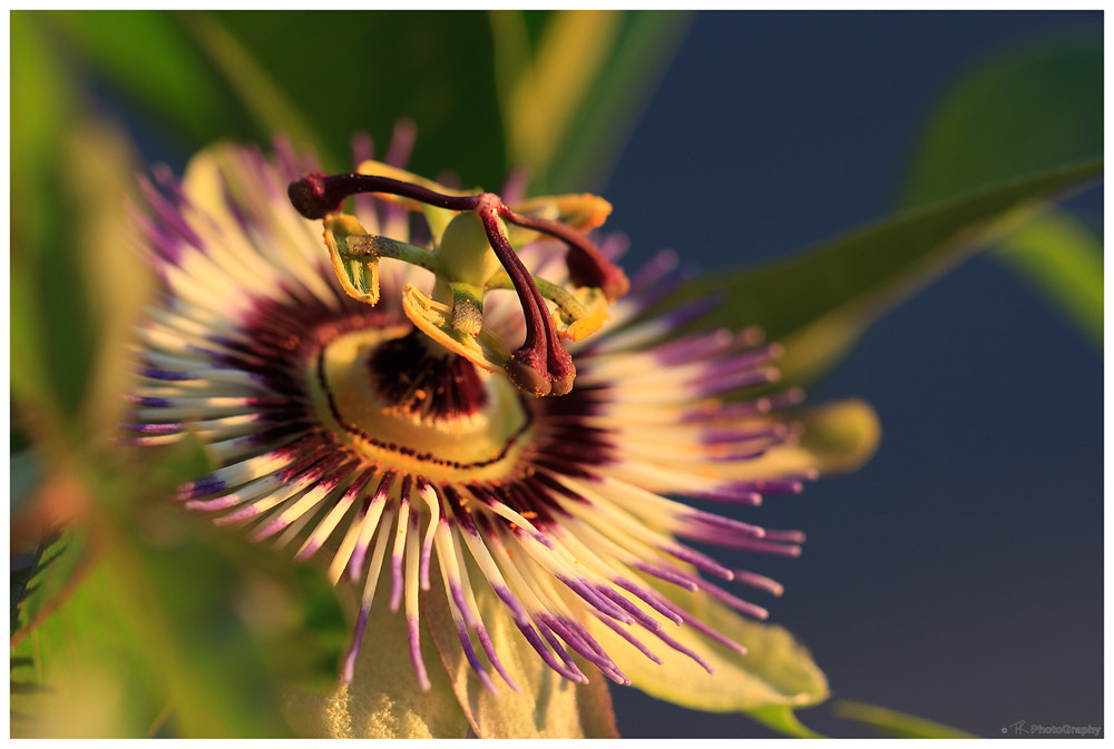 Photograph Passion Flower by Tobi K on 500px
