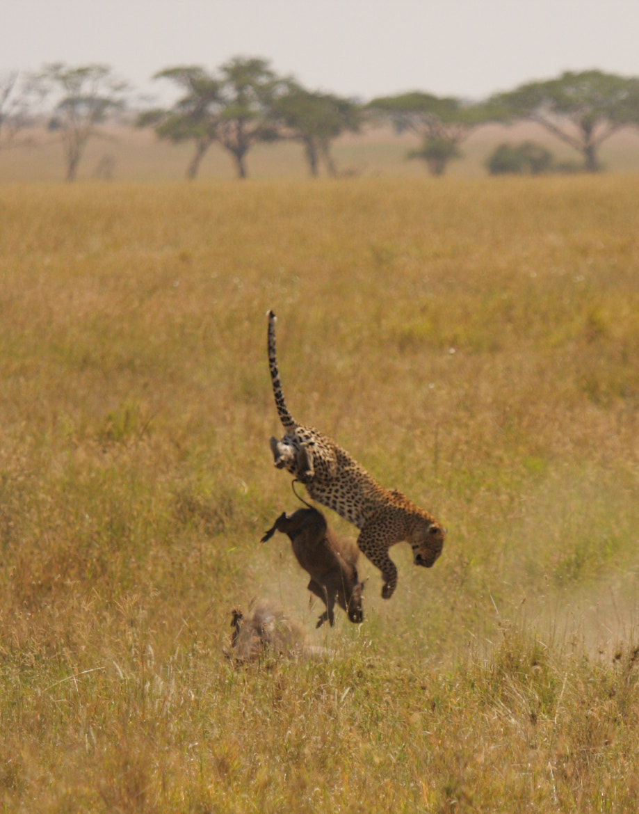 Photograph Backflipping Leopard by Amy Johnson on 500px