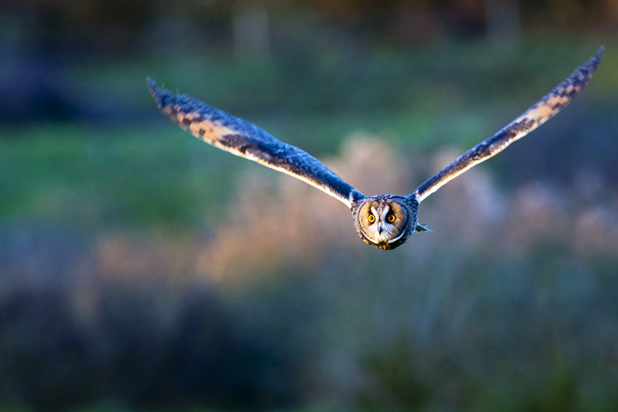 Photograph Owl... by Ian Schofield on 500px