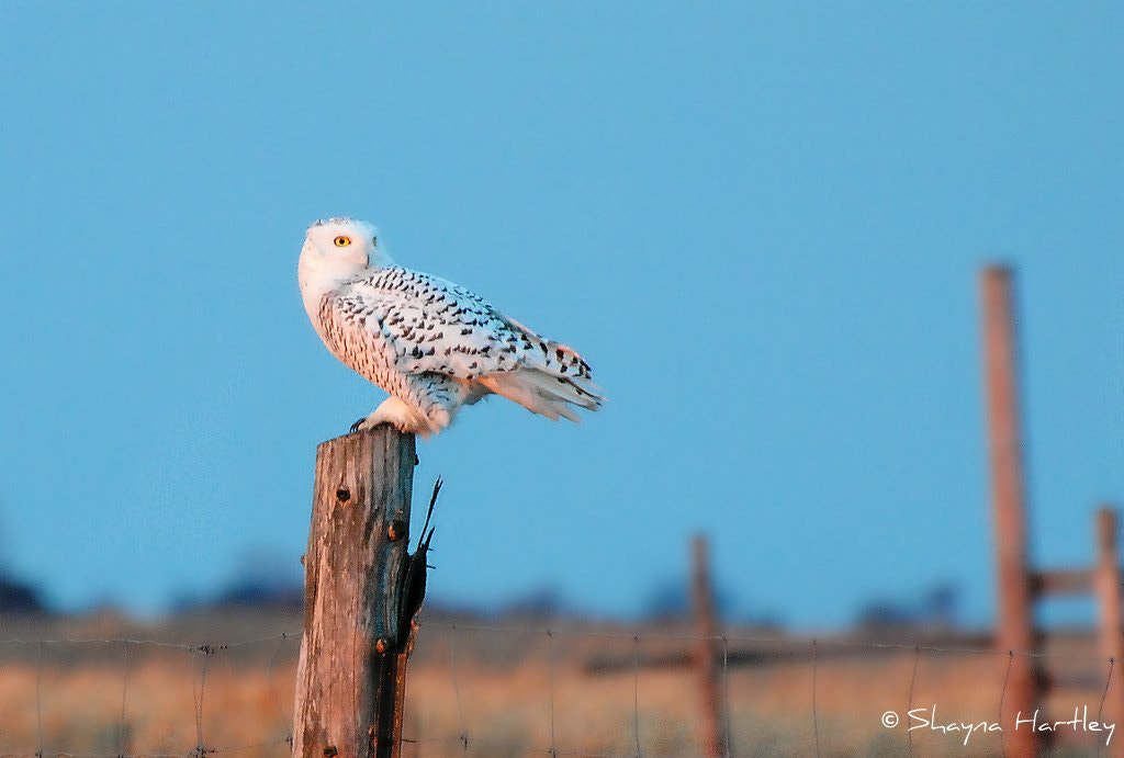 Photograph Snowy Owl by Shayna Hartley on 500px