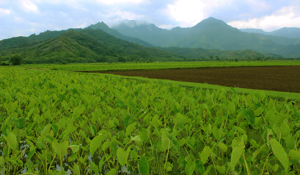 Photograph Taro Field at Hanalei Valley by Elizabeth Martini on 500px