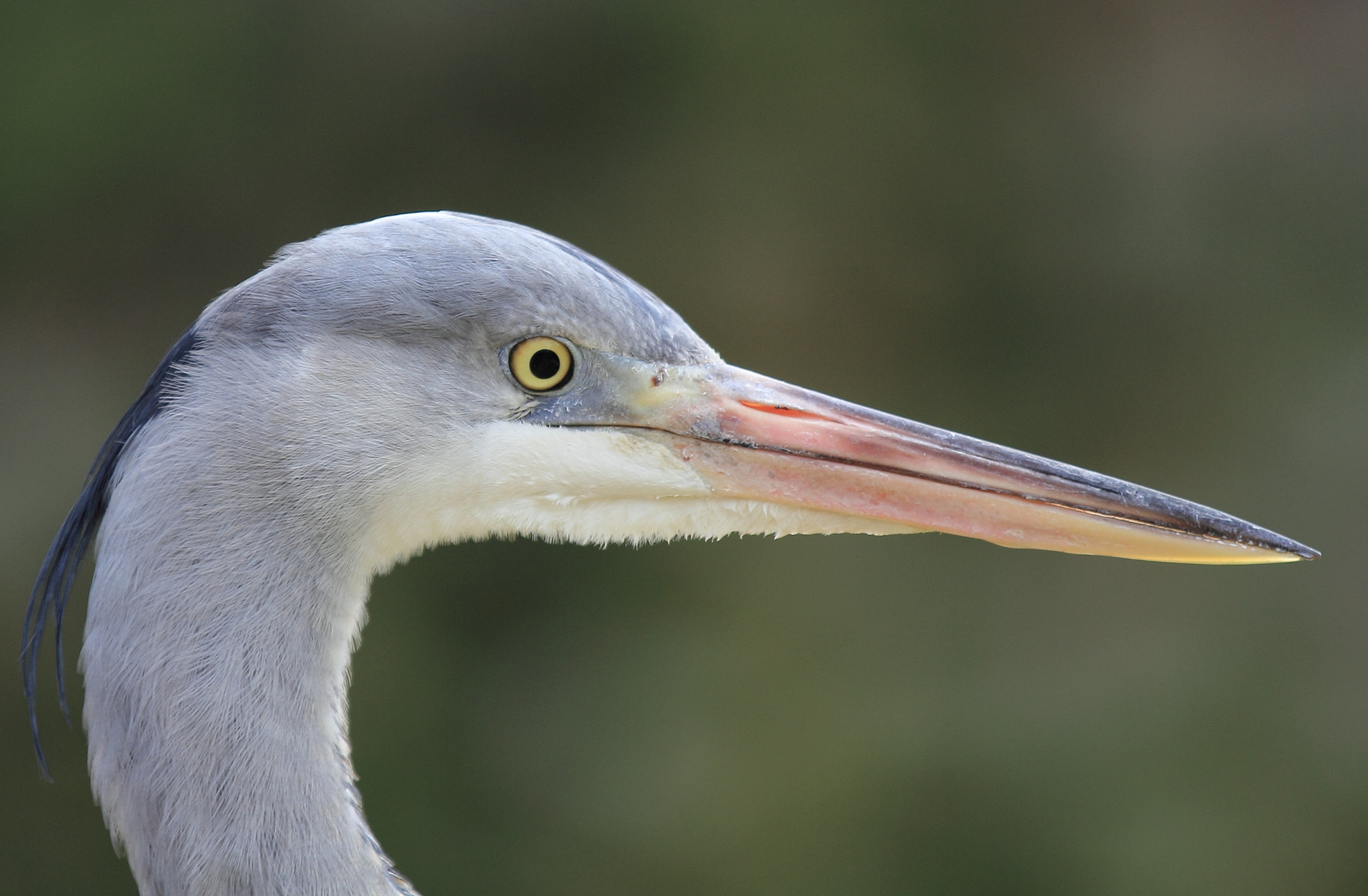 Photograph Grey Heron by Eva Lechner on 500px
