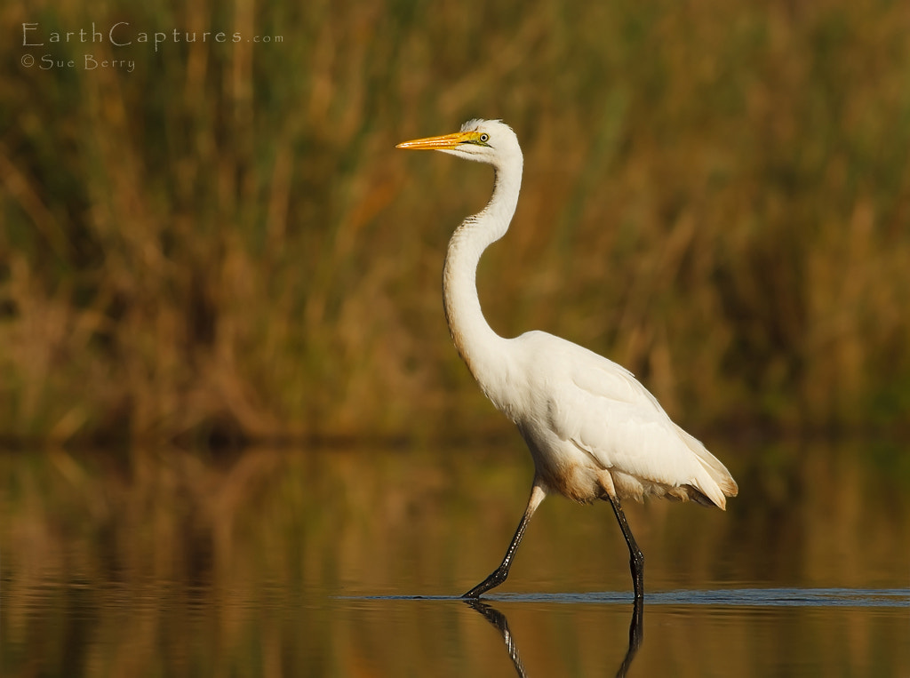 Photograph Egret by Sue Berry on 500px