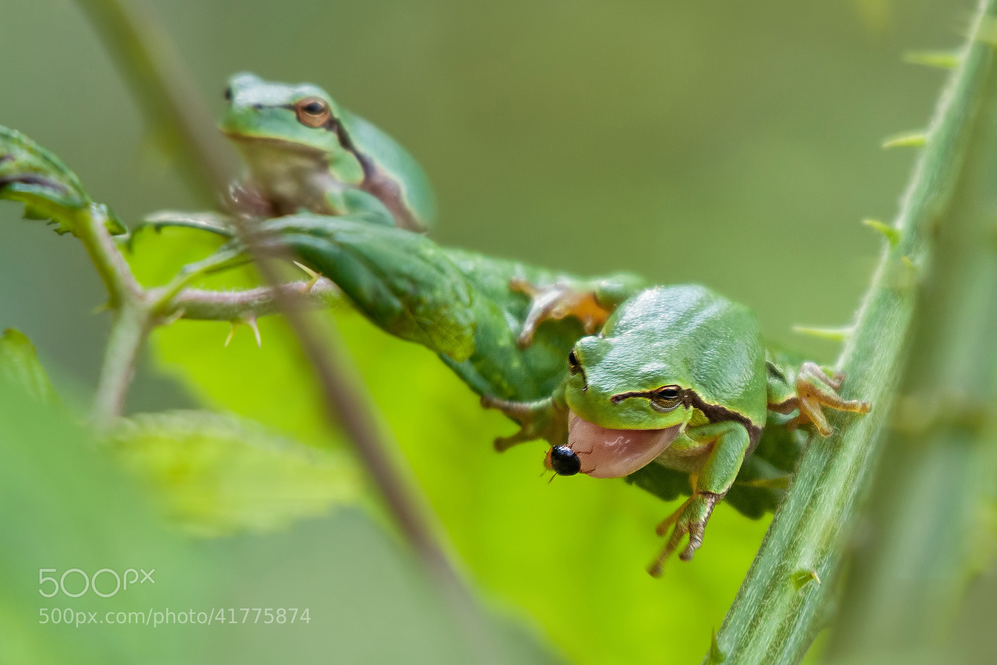Photograph Tree frog catching a beetle by Stefan ...
