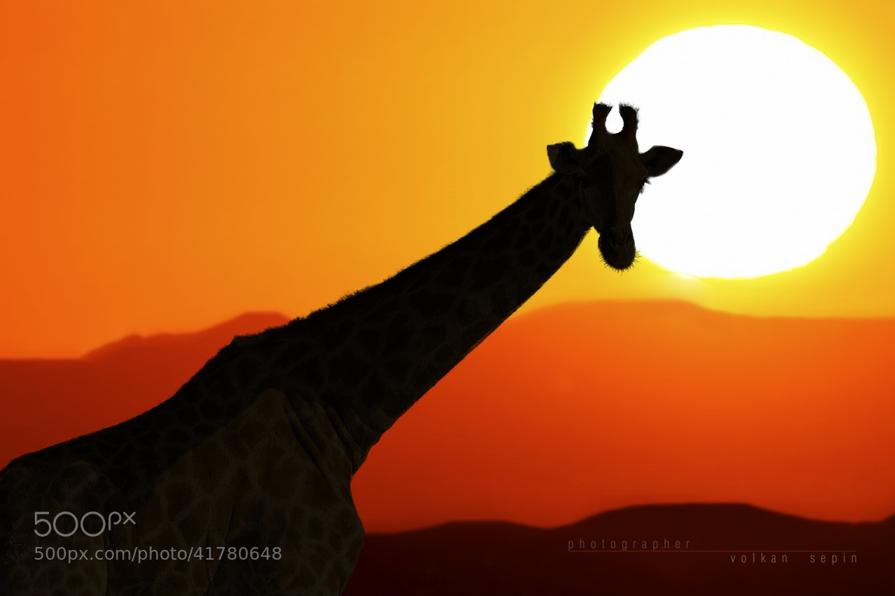 Photograph Sun Set Giraffe by volkan SEPİN on 500px