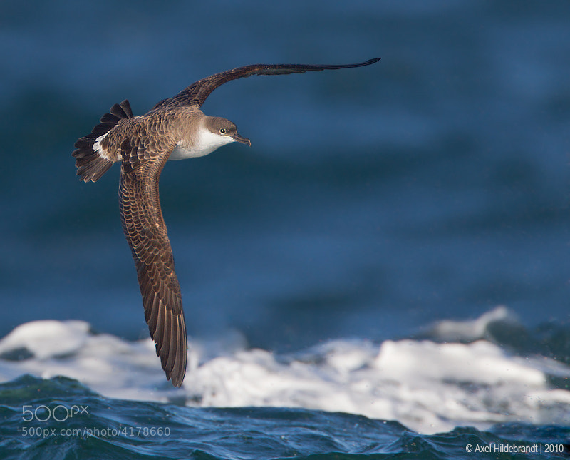Photograph Greater Shearwater in Rough Sea by Axel Hildebrandt on 500px