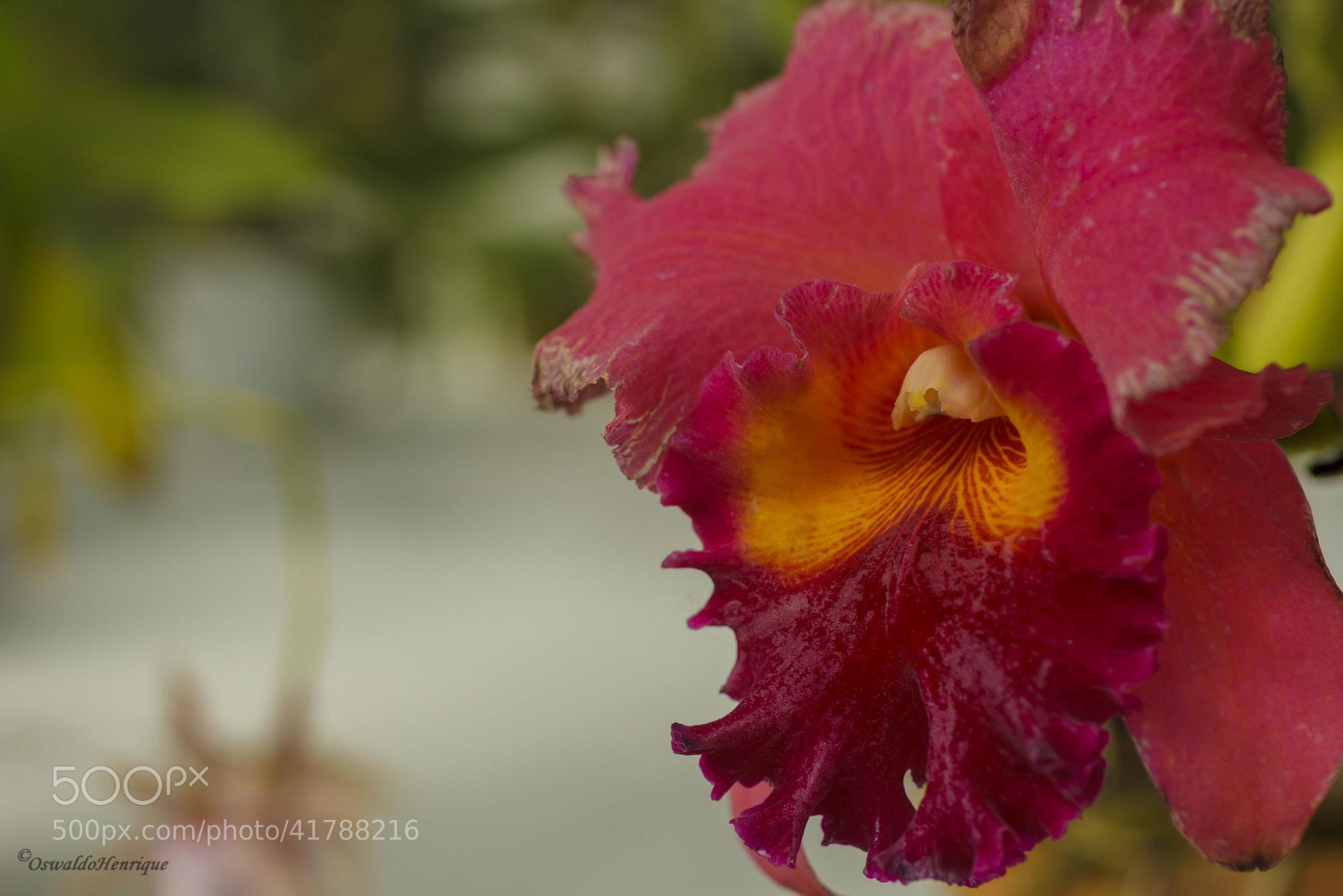 Photograph Velha orquídea by Oswaldo Henrique on 500px