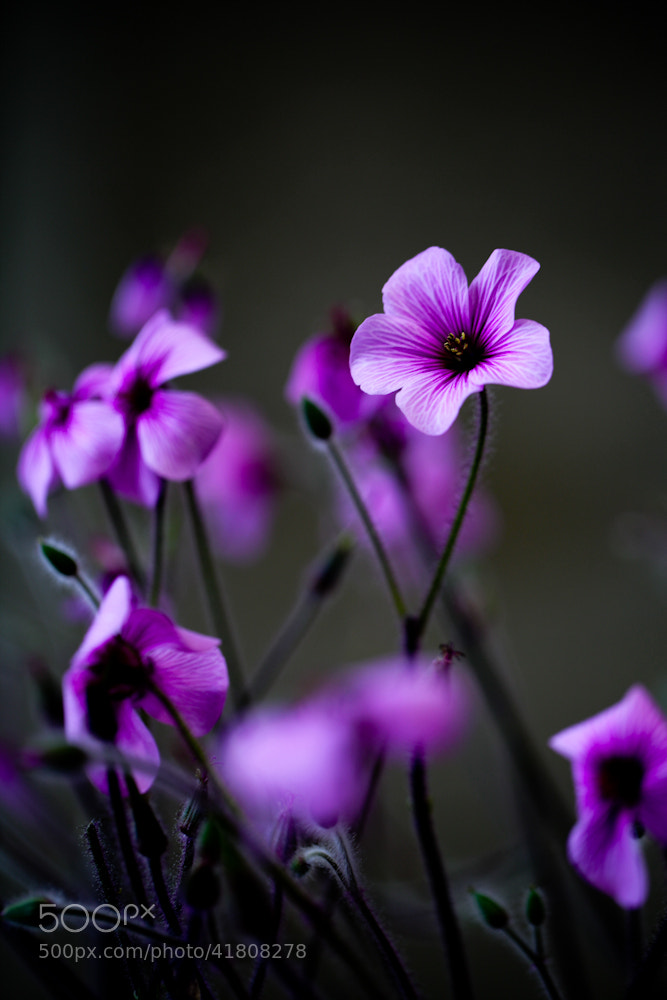 Photograph jointed wood sorrel by Xi Okamoto on 500px
