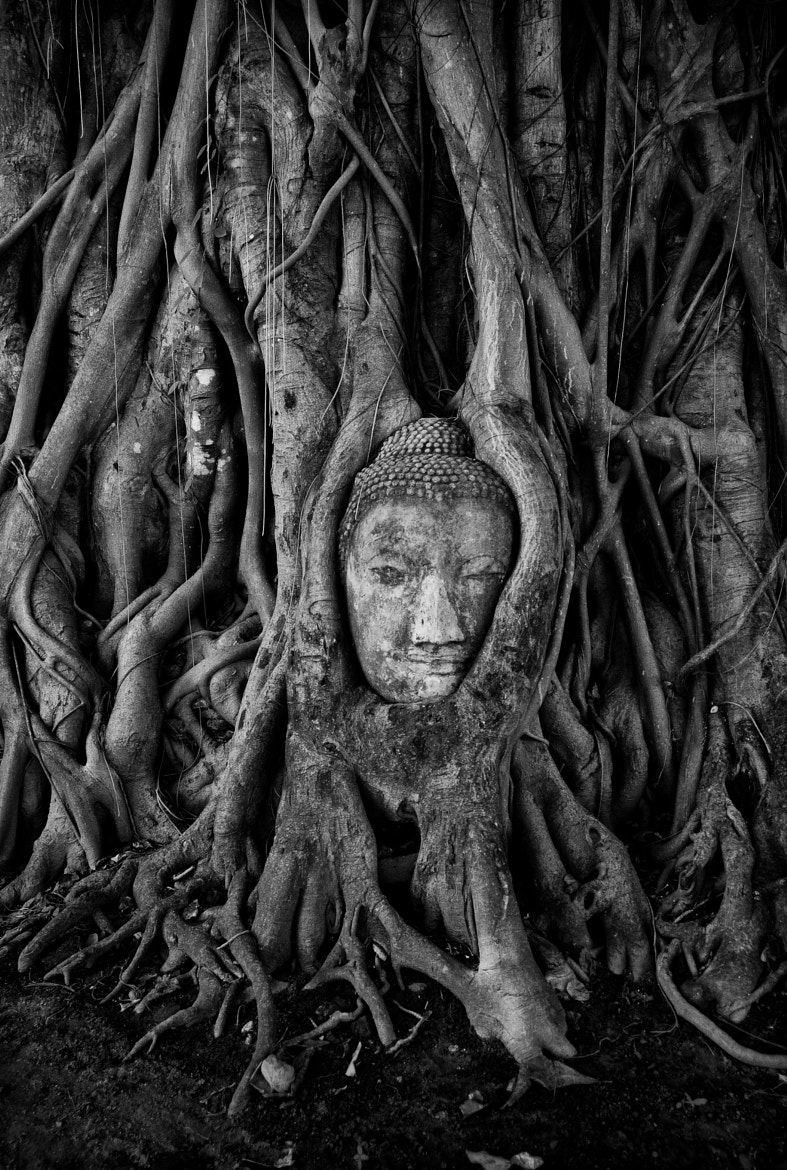 Photograph Ayutthaya Tree by Lee Craker on 500px