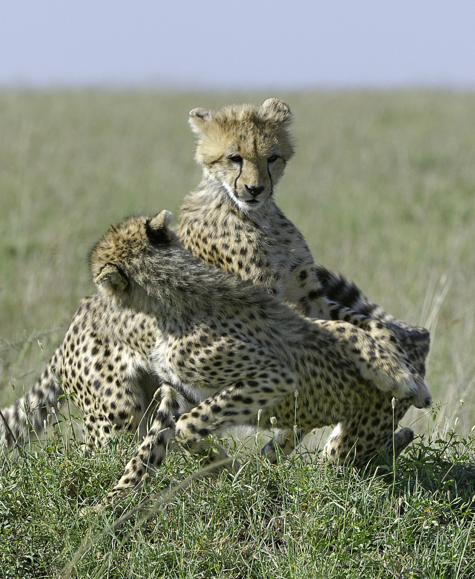 Photograph Young Cheetah playing by Reto Bühler on 500px