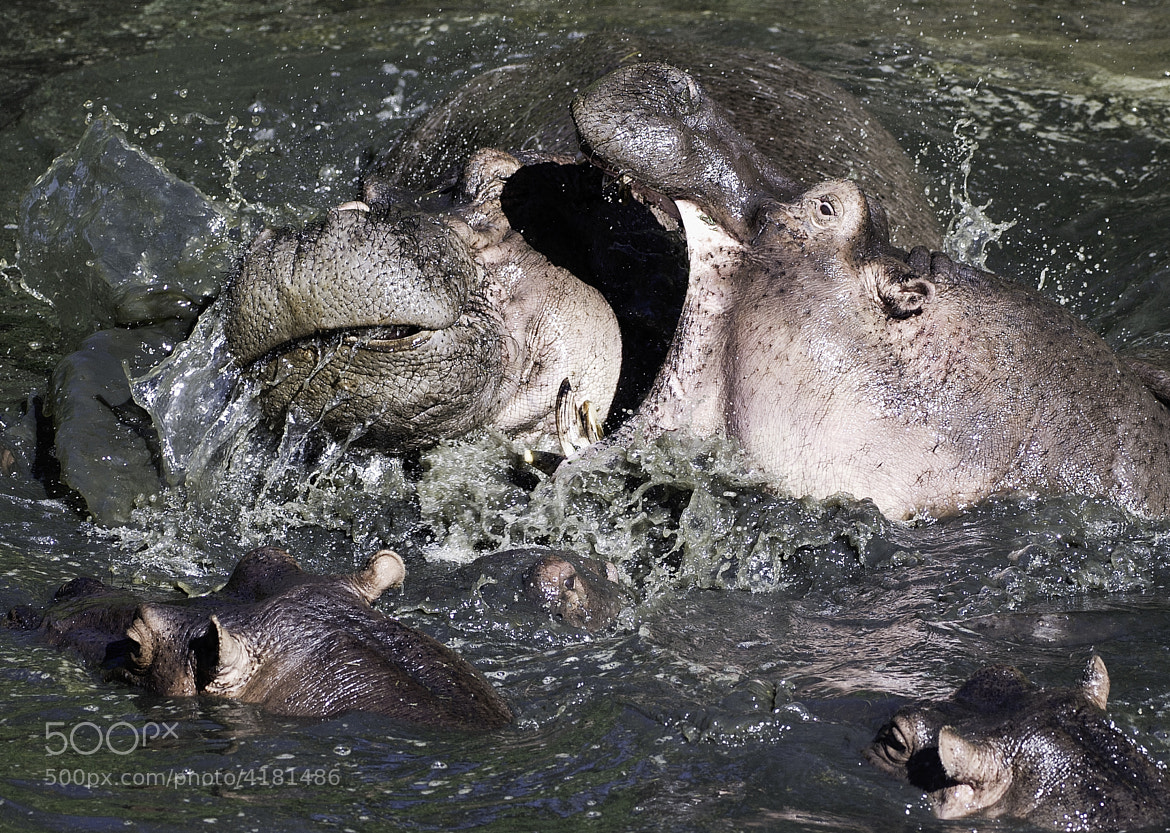 Photograph Hippos fighting by Reto Bühler on 500px