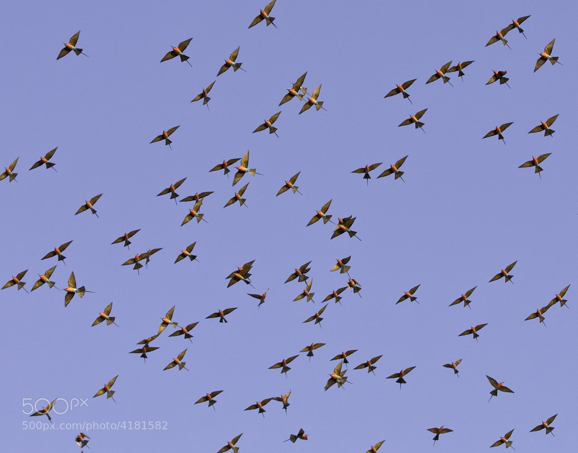 Photograph Bee Eaters flying by Reto Bühler on 500px