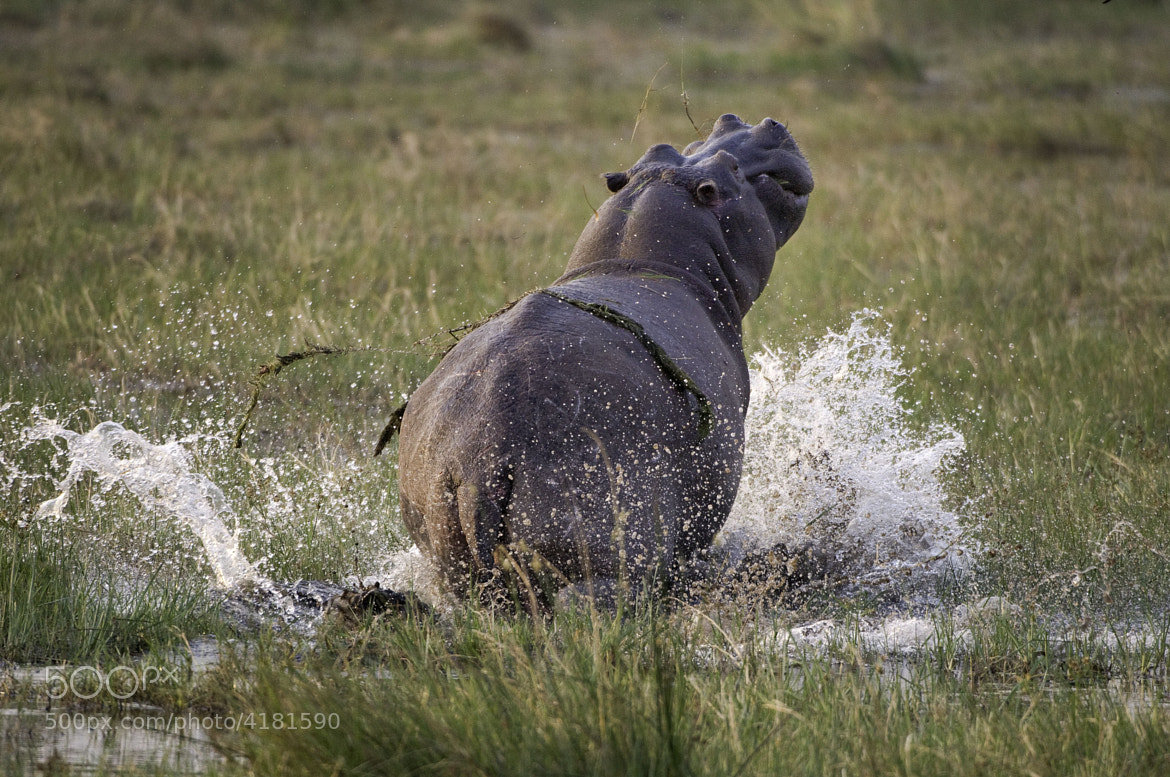 Photograph Hippo escapes by Reto Bühler on 500px