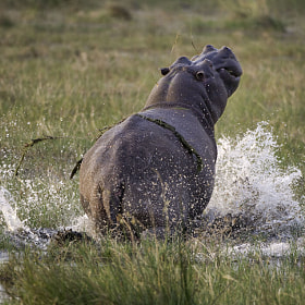 Hippo escapes by Reto Bühler (reto-buehler)) on 500px.com