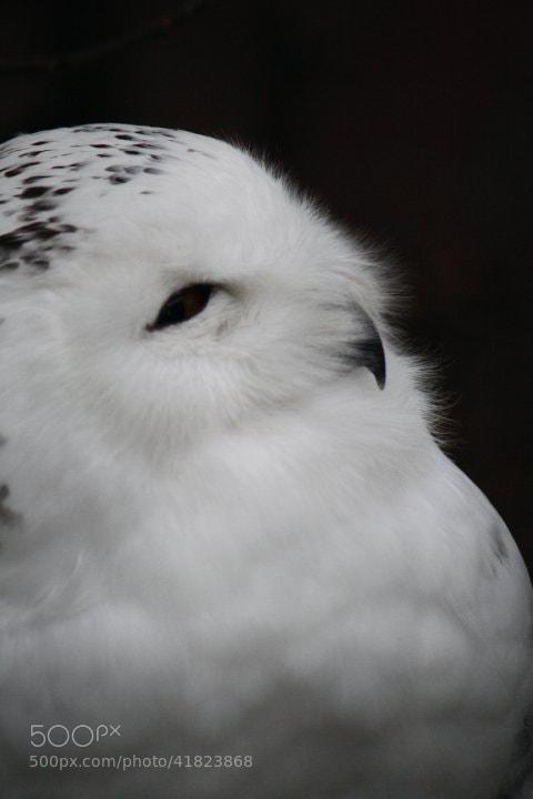 Photograph Snowy Owl by Rose Smith on 500px
