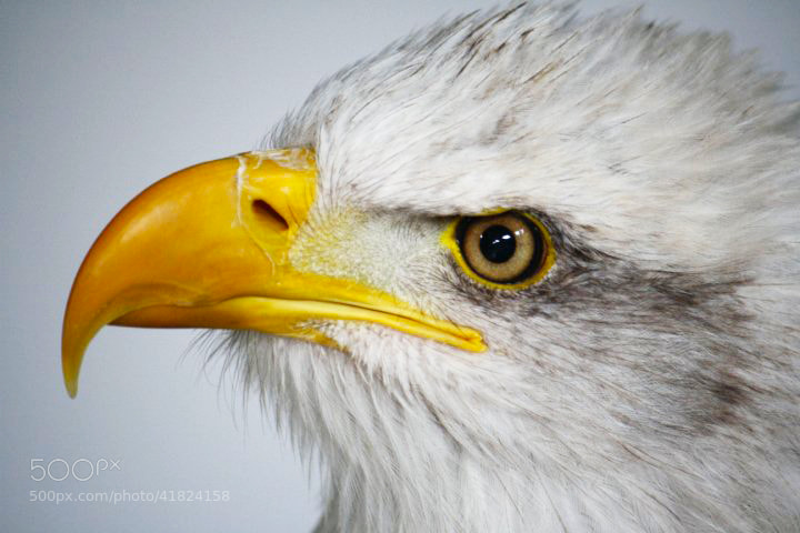 Photograph Bald Eagle by Rose Smith on 500px