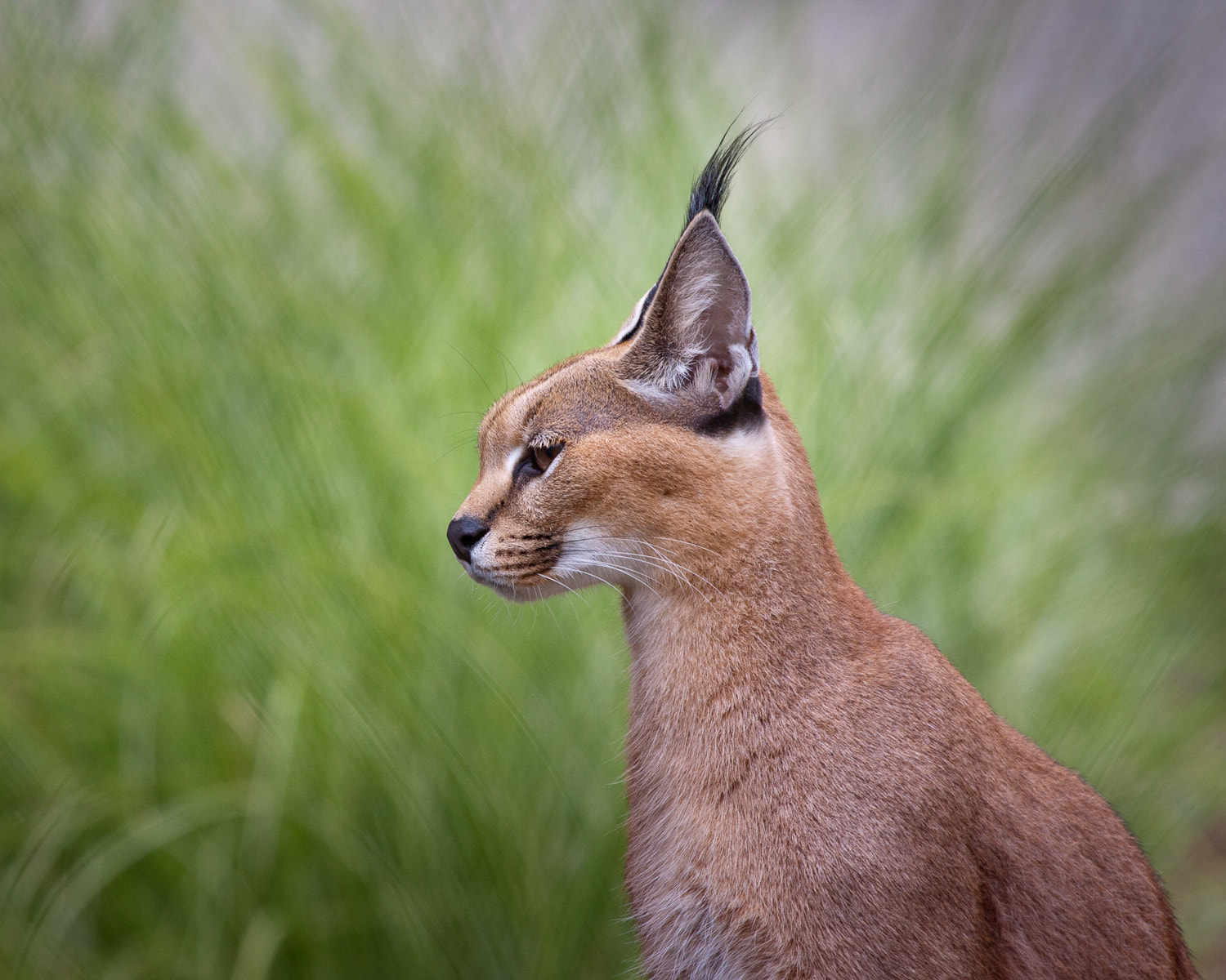 Photograph Caracal by Fedor Pikus on 500px