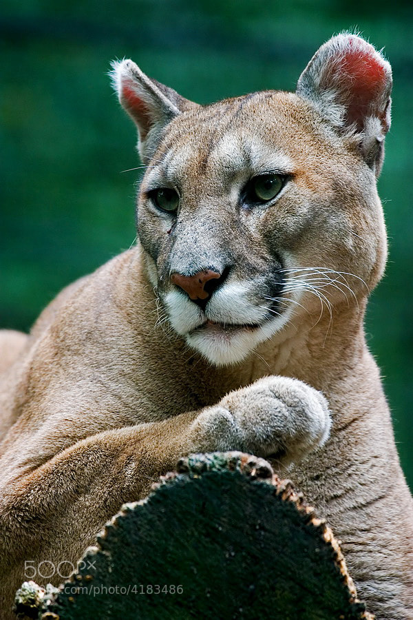 Photograph Cougar by László Oláh on 500px