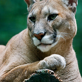 Cougar by László Oláh (olahlaszlo)) on 500px.com