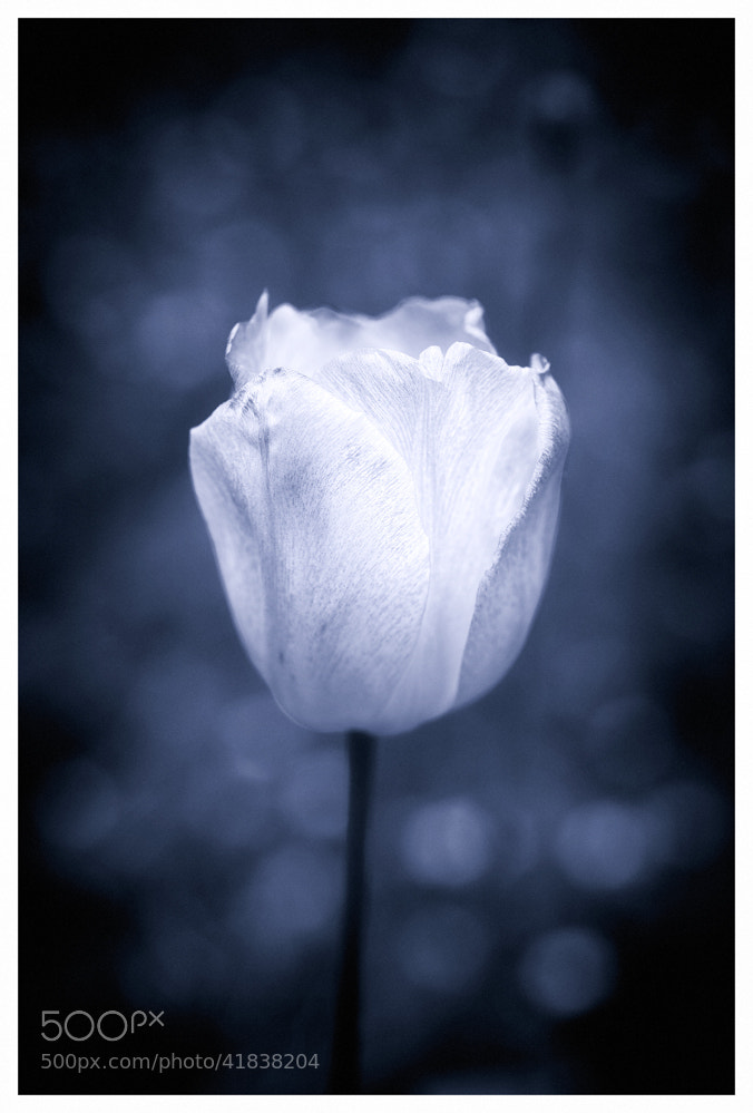 Photograph White tulip by Paolo Costantino on 500px