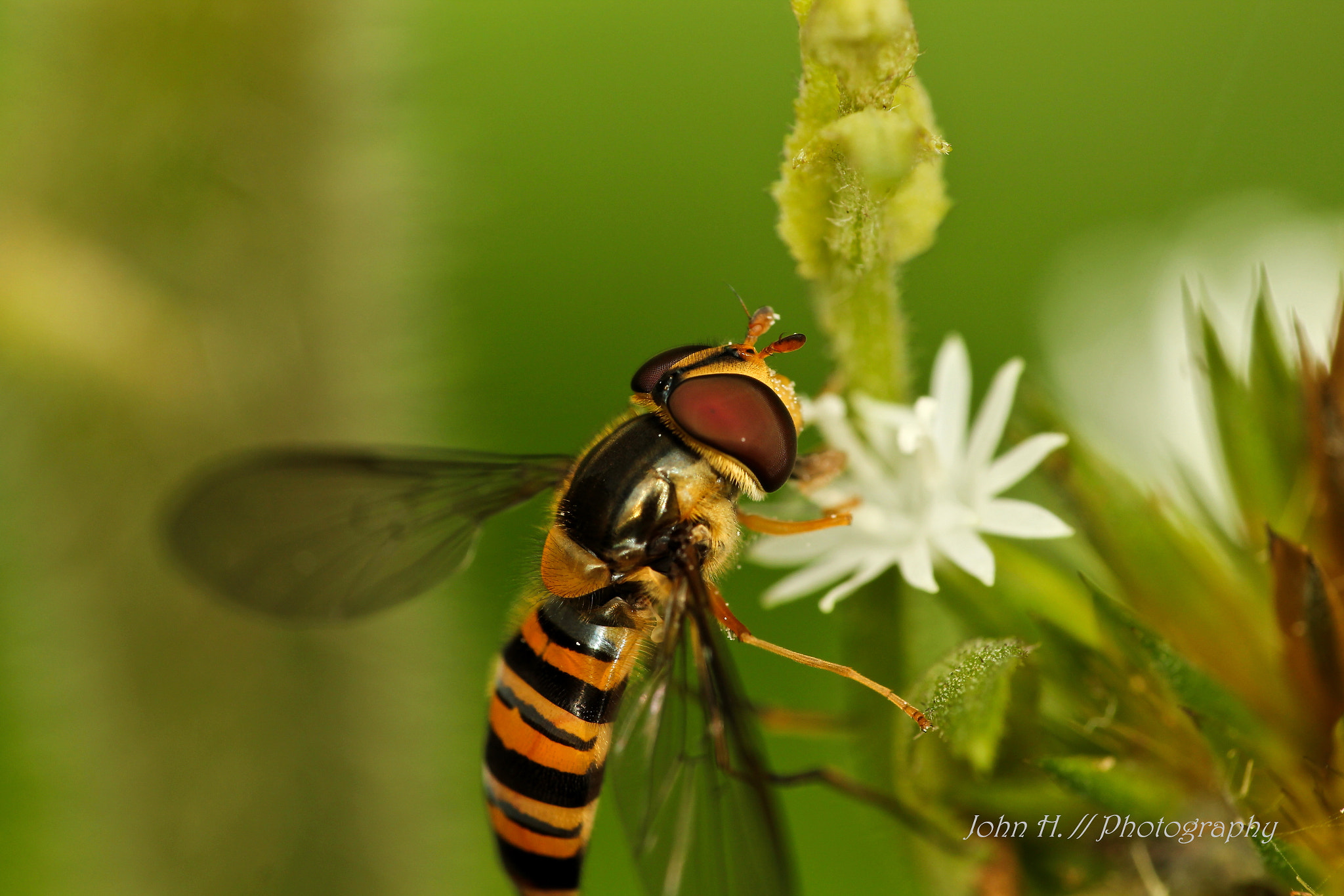 Photograph hover fly by John Hernandez on 500px