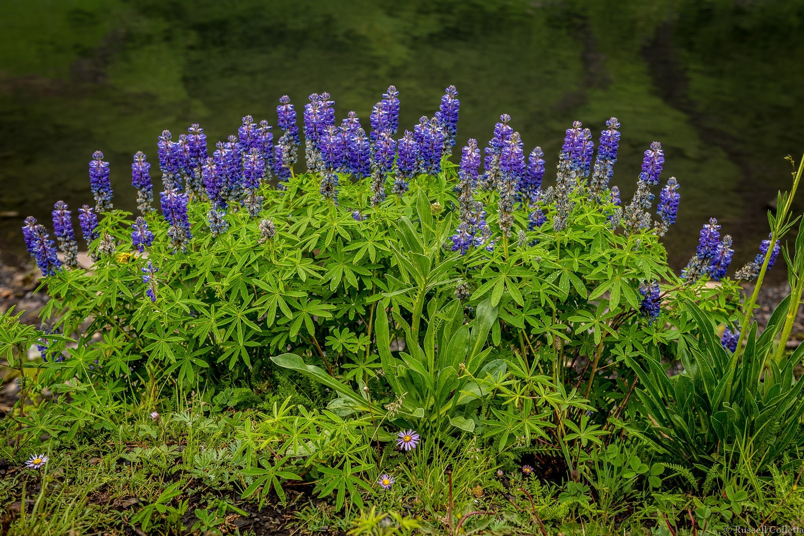 Photograph Lakeside Lupine by Russ Colletta on 500px